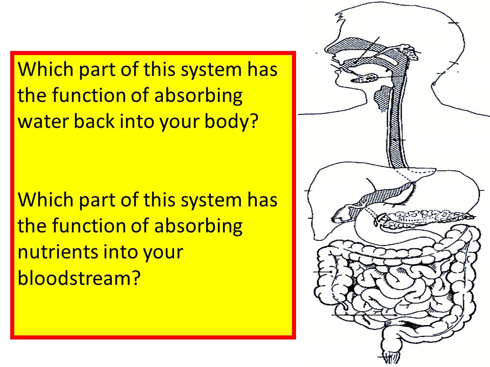 Which part of this system has the function of absorbing water back into your body