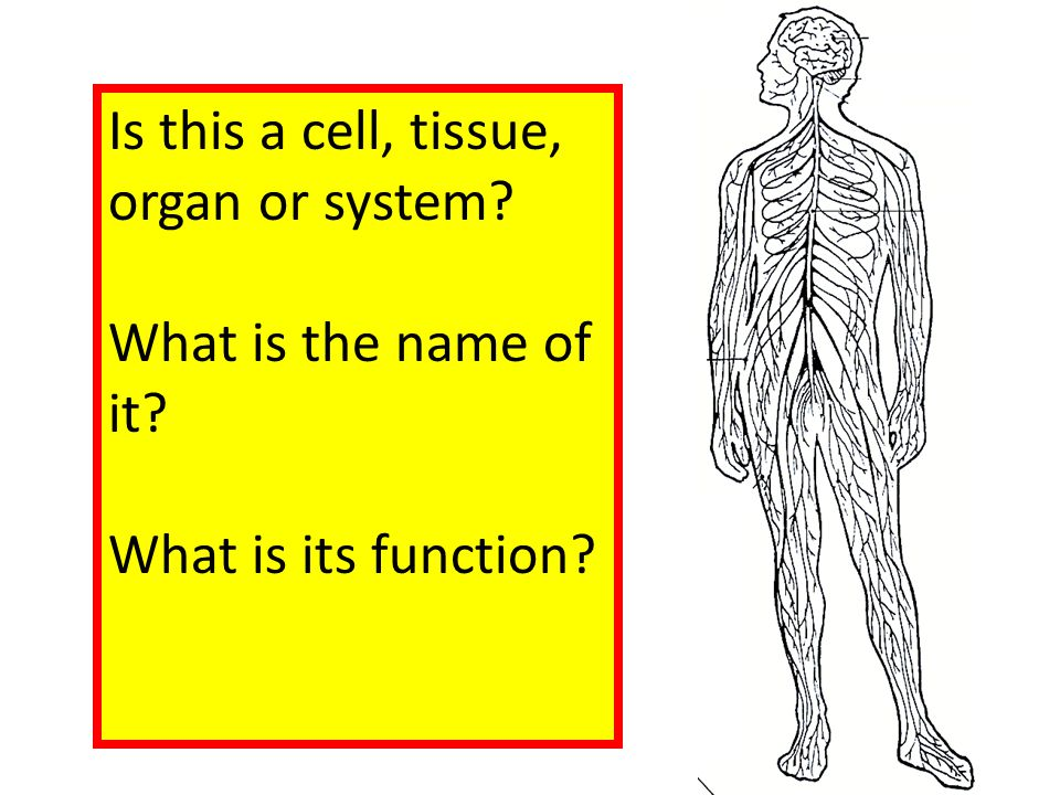 Is this a cell, tissue, organ or system