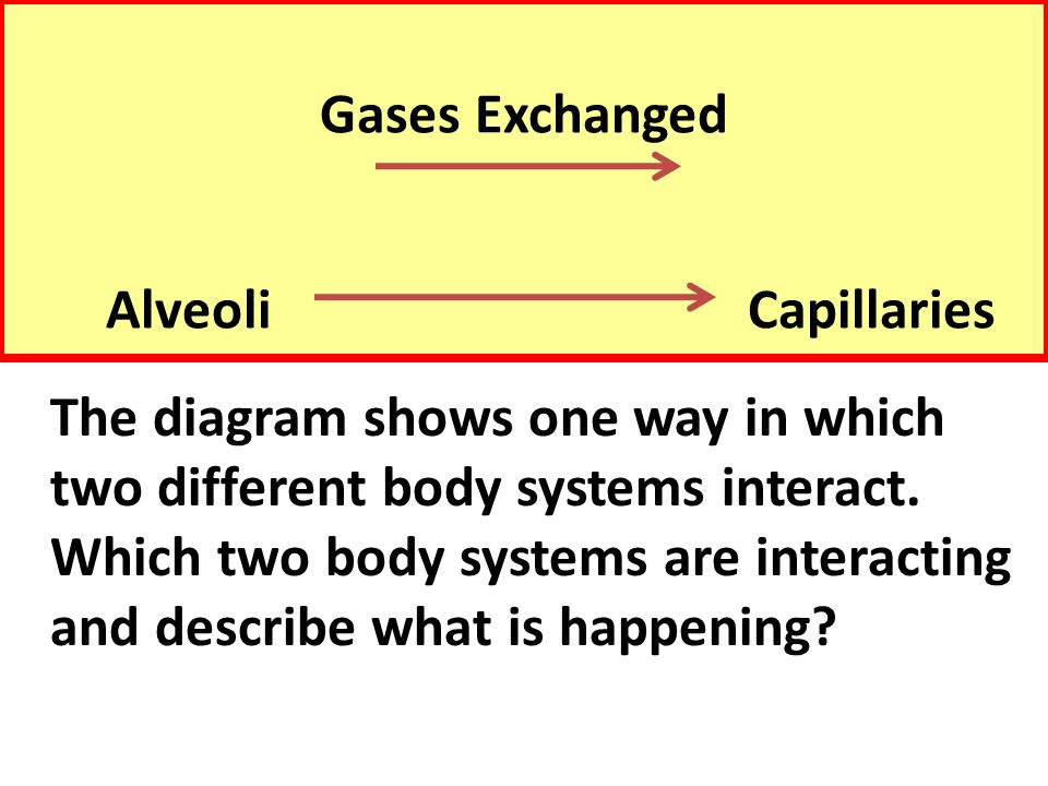 Gases Exchanged Alveoli Capillaries