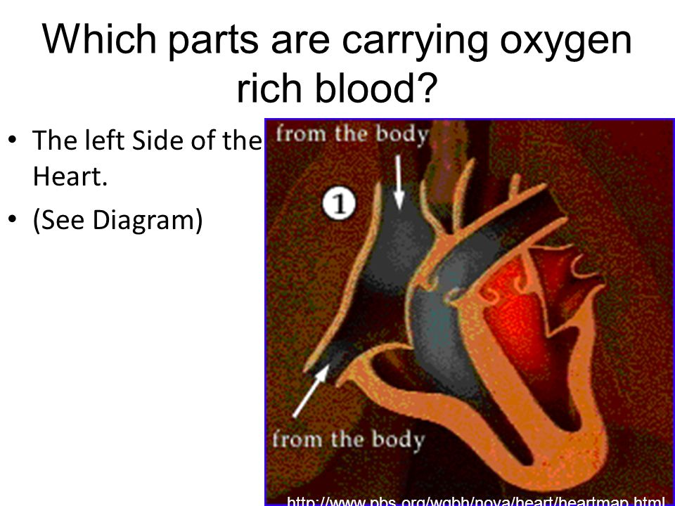 Which parts are carrying oxygen rich blood