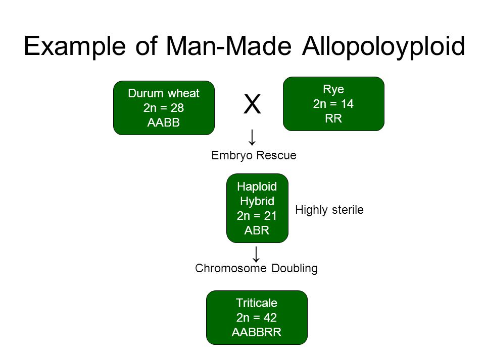 Example of Man-Made Allopoloyploid