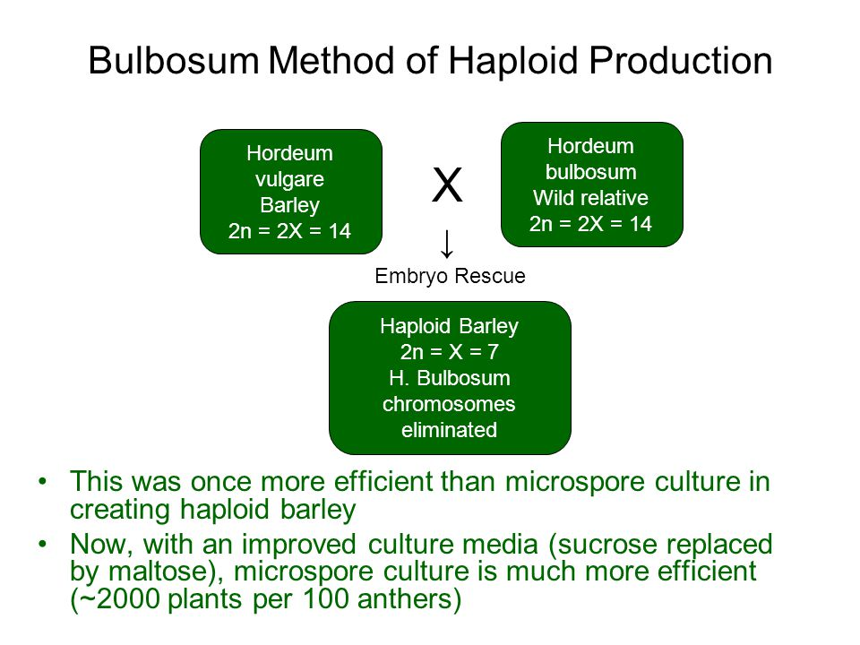 Bulbosum Method of Haploid Production