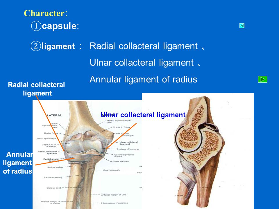 Ulnar collacteral ligament