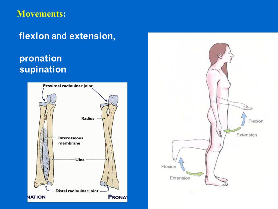 Movements: flexion and extension, pronation supination