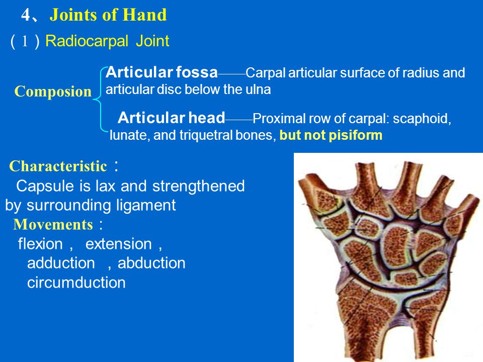 4、Joints of Hand (1)Radiocarpal Joint