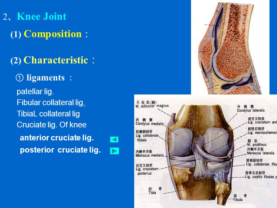 2、Knee Joint (1) Composition: (2) Characteristic: ① ligaments :