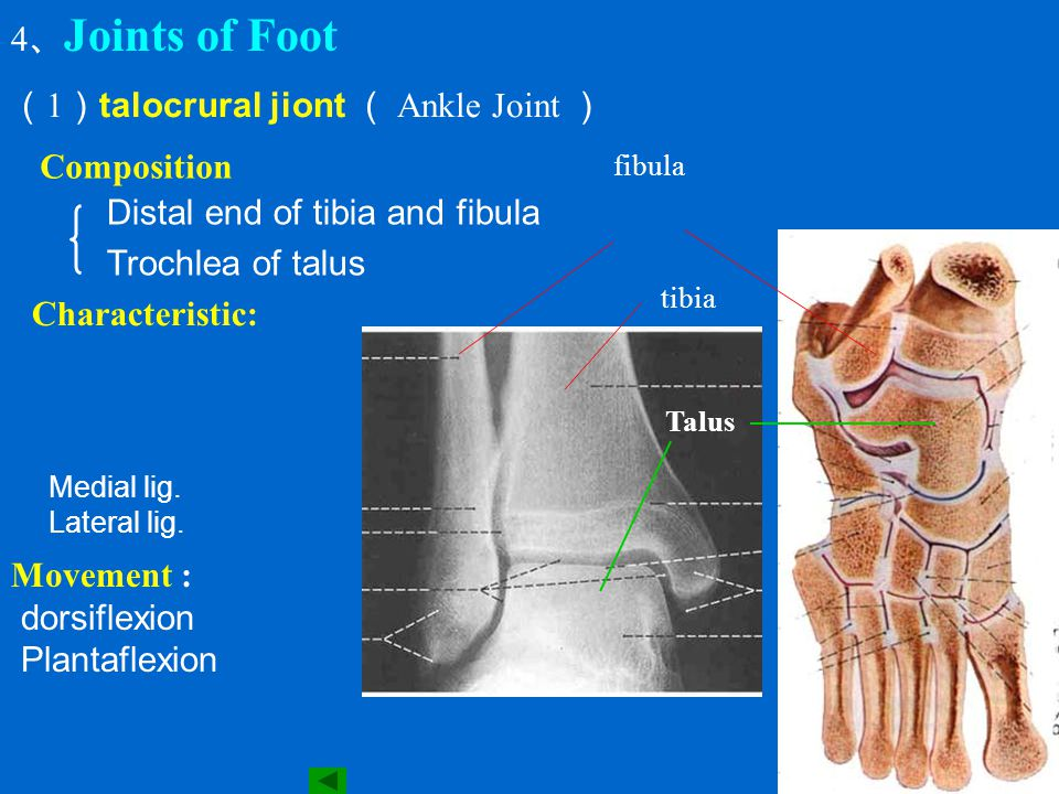 (1)talocrural jiont ( Ankle Joint )