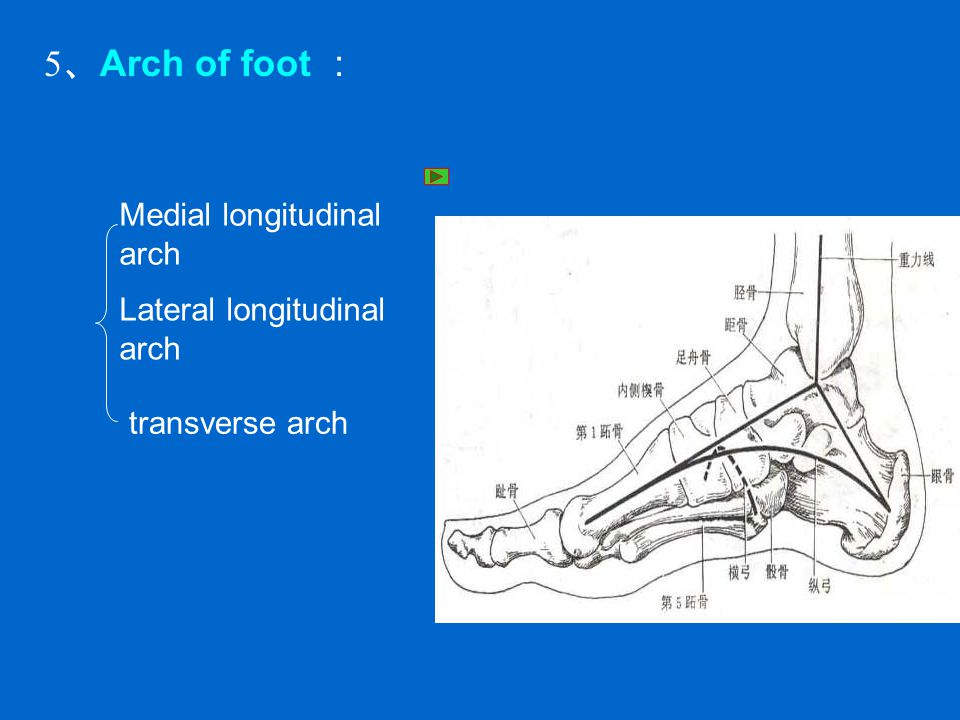 5、Arch of foot : Medial longitudinal arch Lateral longitudinal arch