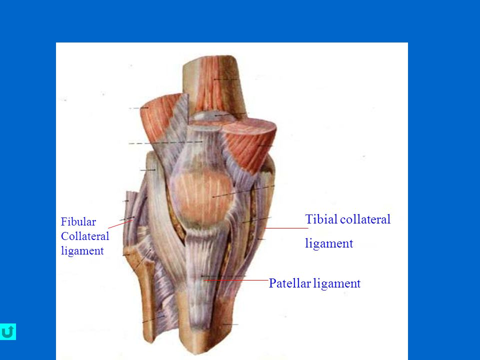 Tibial collateral ligament Patellar ligament Fibular Collateral