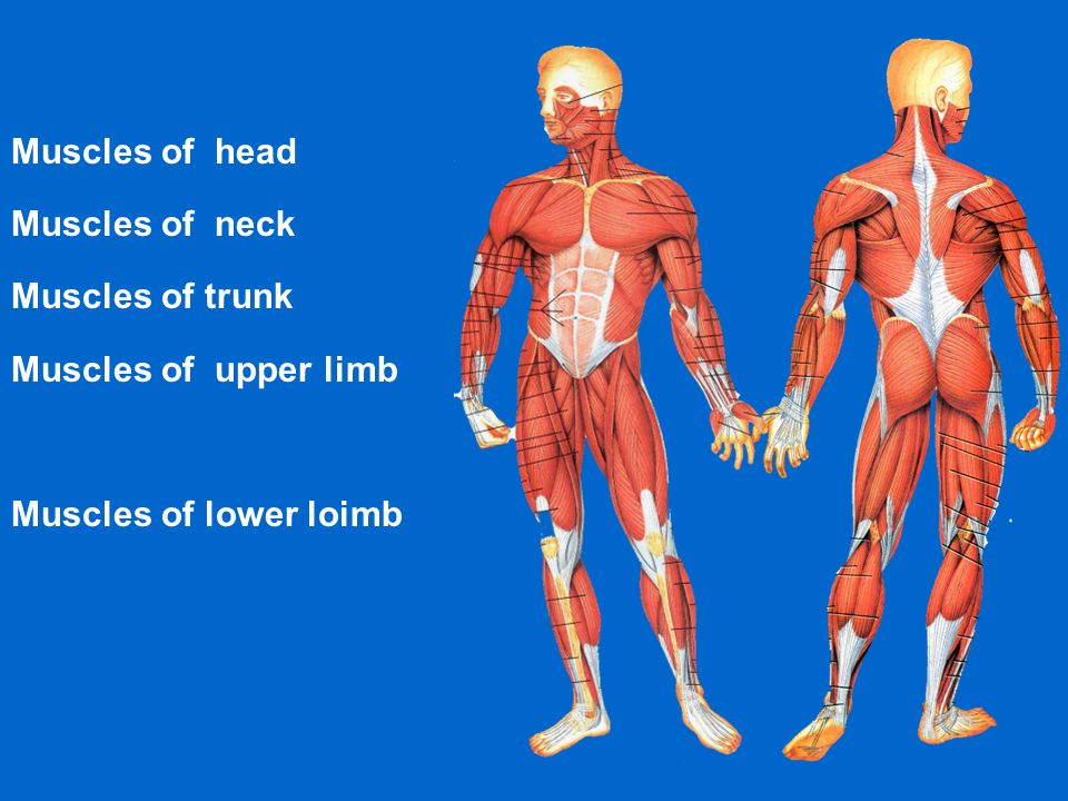 Muscles of head Muscles of neck Muscles of trunk Muscles of upper limb Muscles of lower loimb