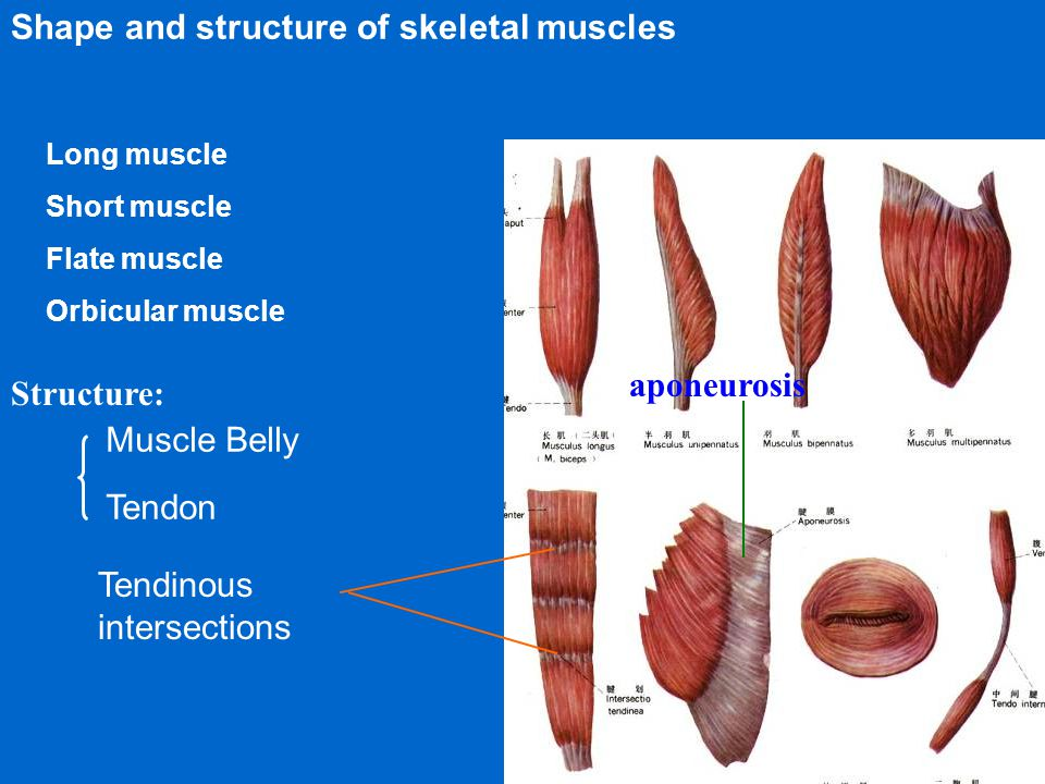 Shape and structure of skeletal muscles