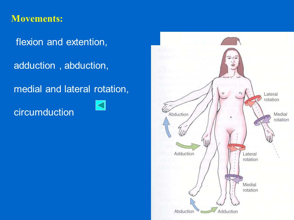 Movements: flexion and extention, adduction , abduction, medial and lateral rotation, circumduction