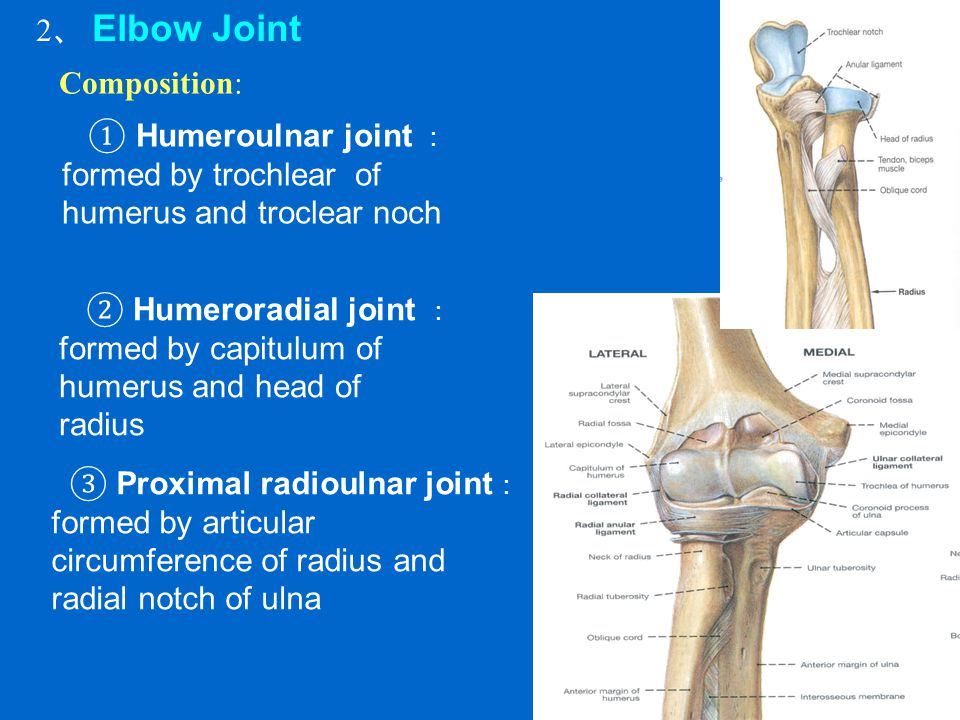 2、 Elbow Joint Composition: ① Humeroulnar joint : formed by trochlear of humerus and troclear noch.