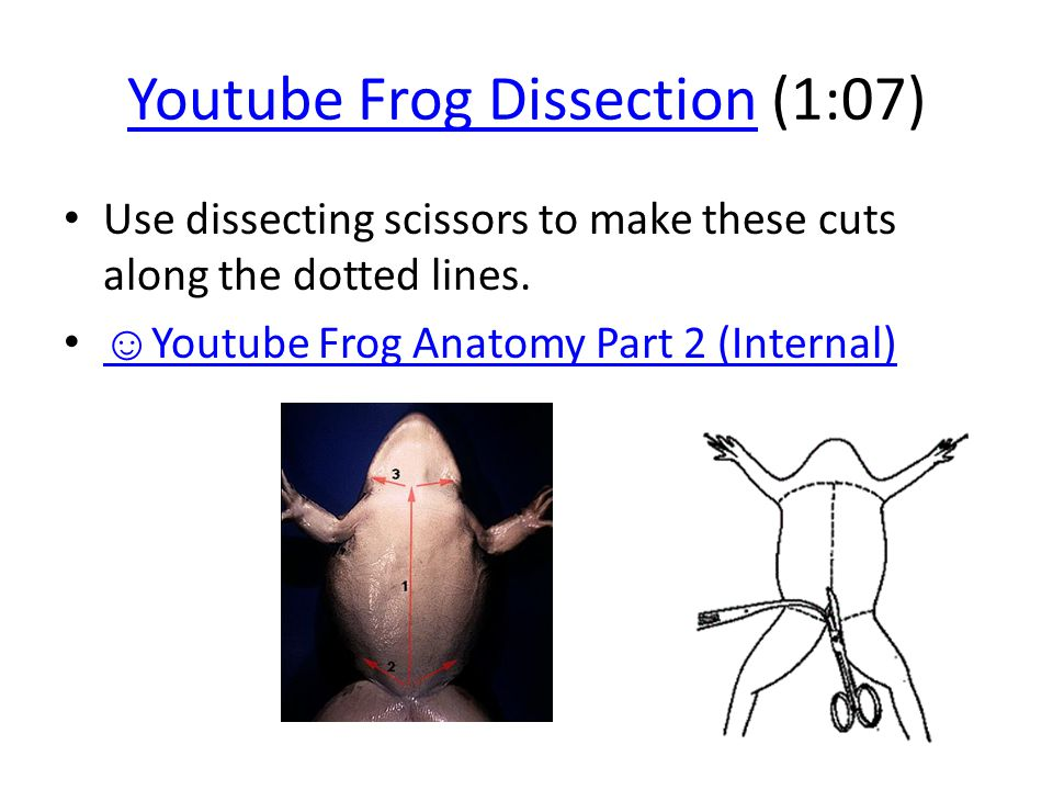 Anatomy of dissected frog