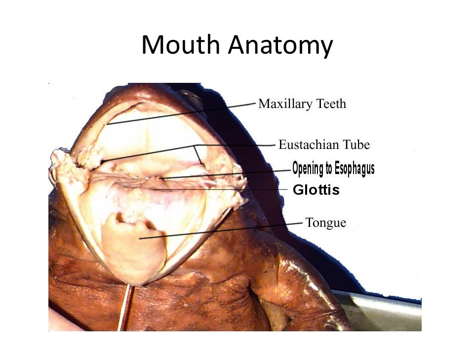 Frog mouth anatomy