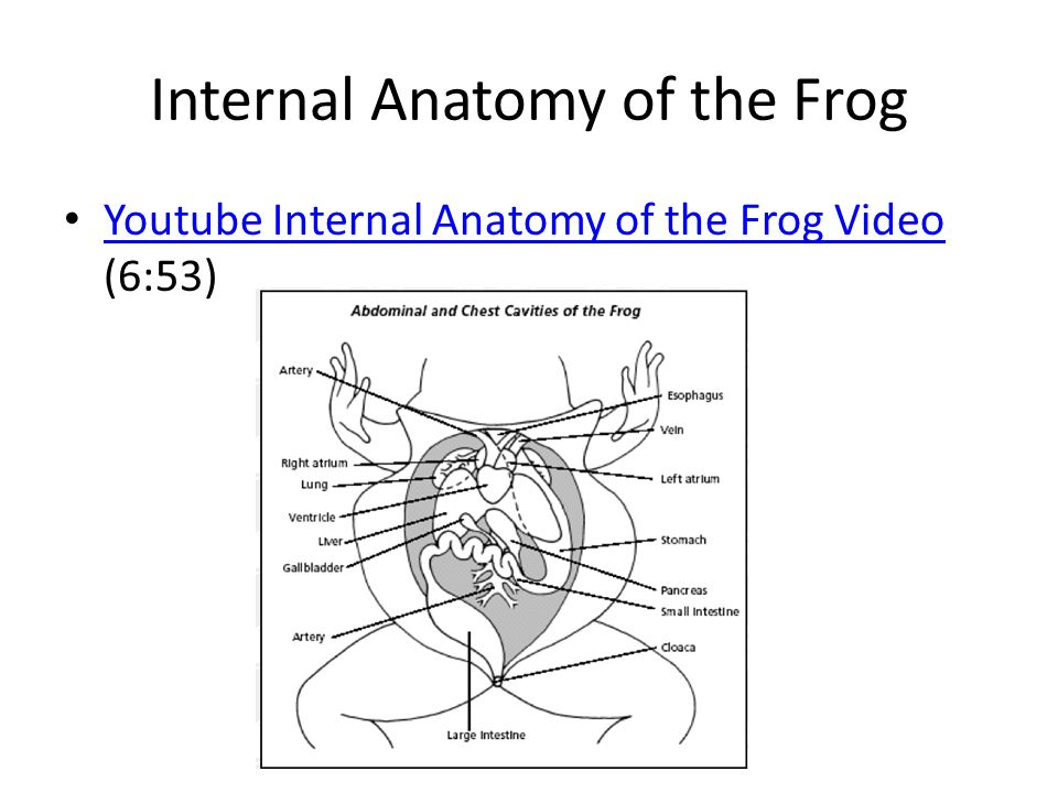 Internal Frog Anatomy