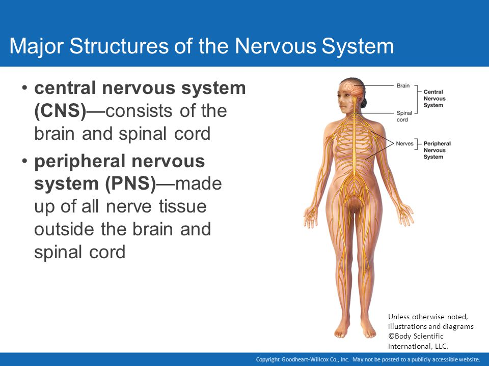a study of the nervous system Medical research on the nervous system from the growth of nerve cells to neurodegeneration, read all about the spinal cord, the brain and neurons.