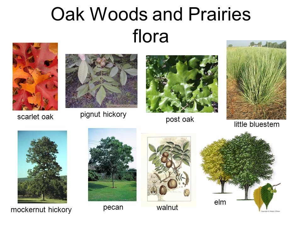 Oak Woods and Prairies flora