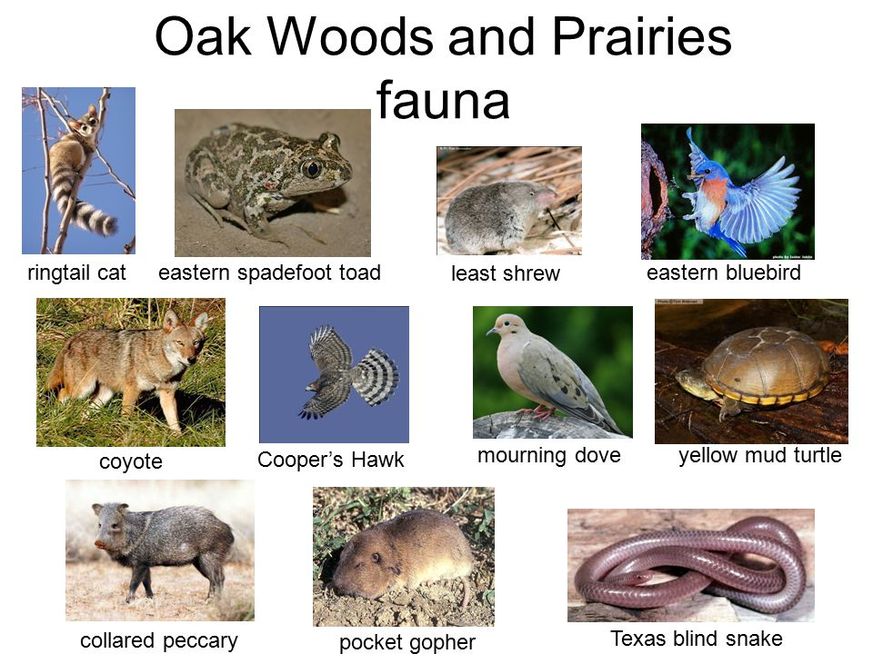 Oak Woods and Prairies fauna