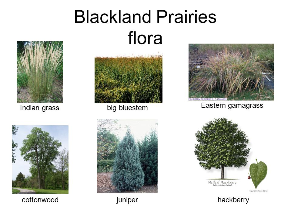 Blackland Prairies flora
