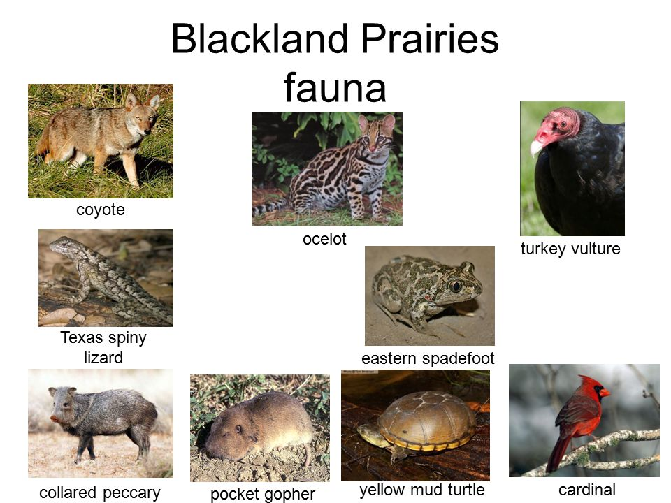 Blackland Prairies fauna