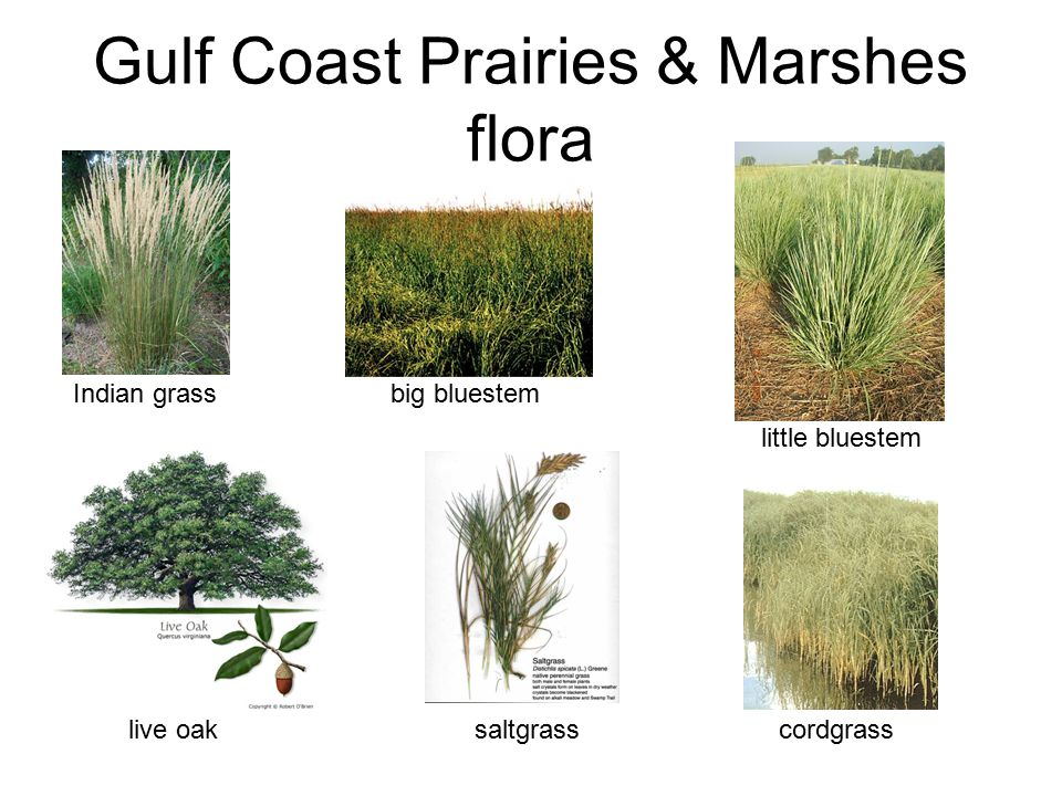Gulf Coast Prairies & Marshes flora