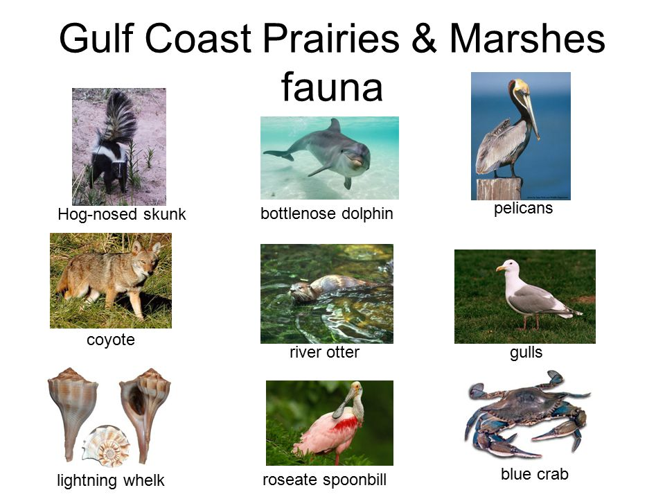 Gulf Coast Prairies & Marshes fauna