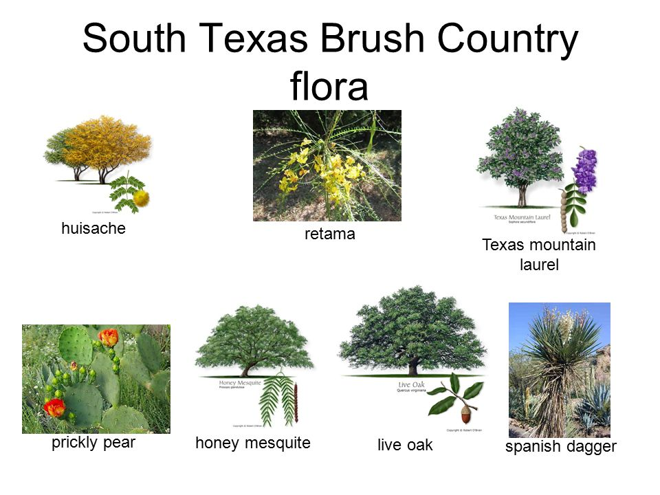 South Texas Brush Country flora