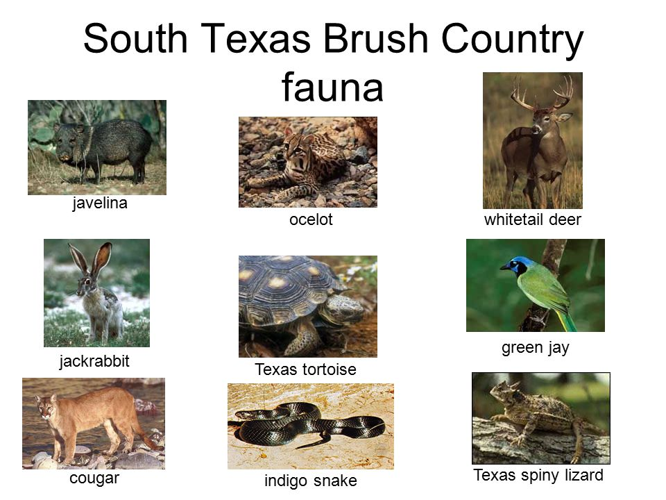 South Texas Brush Country fauna
