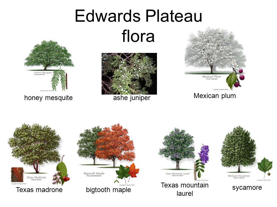 Edwards Plateau flora Mexican plum honey mesquite ashe juniper