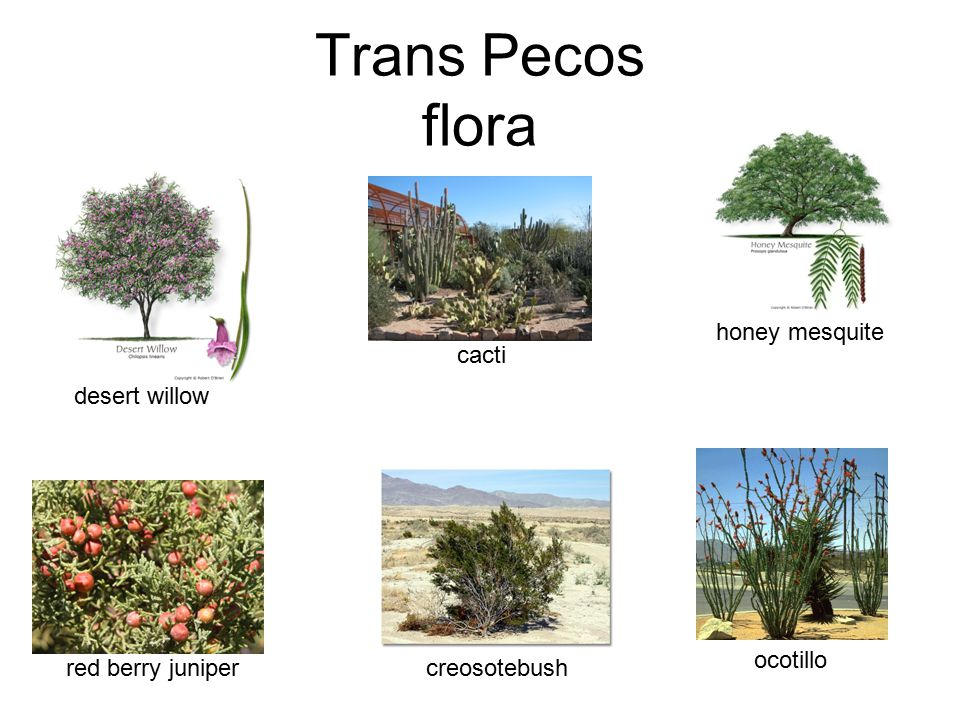 Trans Pecos flora honey mesquite desert willow cacti ocotillo