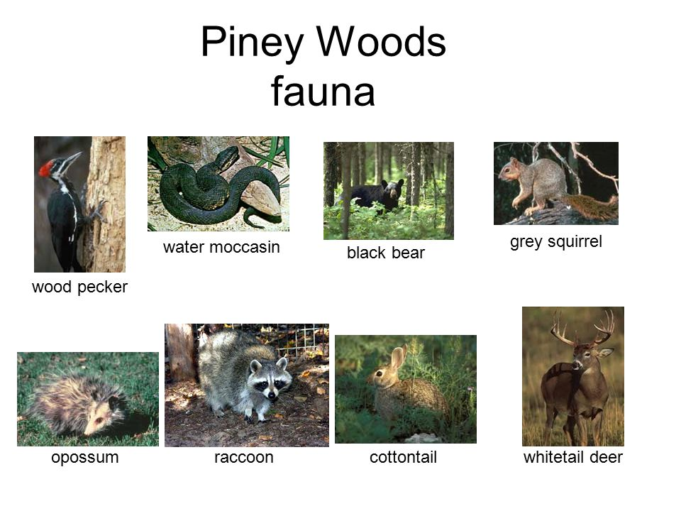 Piney Woods fauna wood pecker water moccasin black bear grey squirrel
