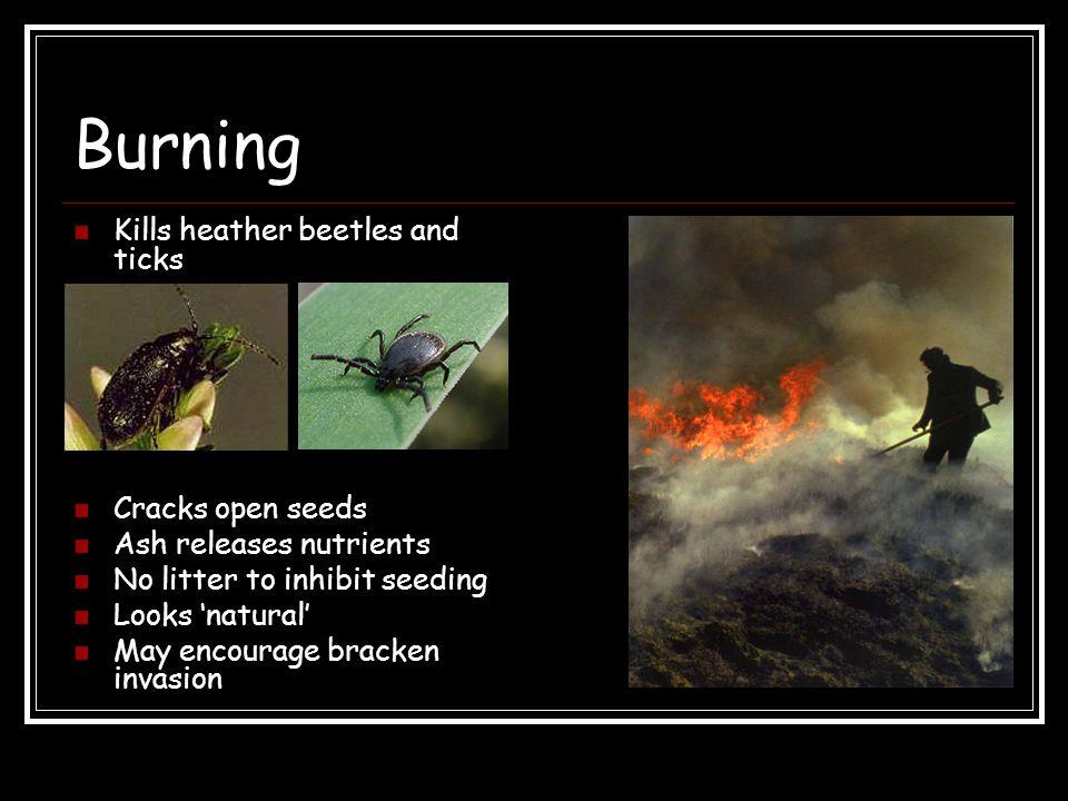 Burning Kills heather beetles and ticks Cracks open seeds