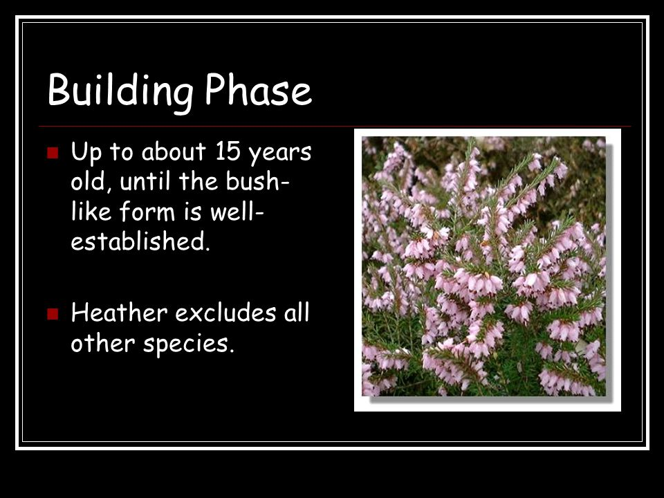 Building Phase Up to about 15 years old, until the bush-like form is well-established.