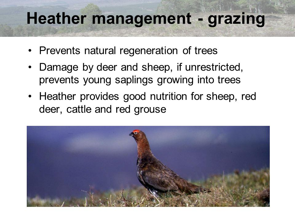 Heather management - grazing