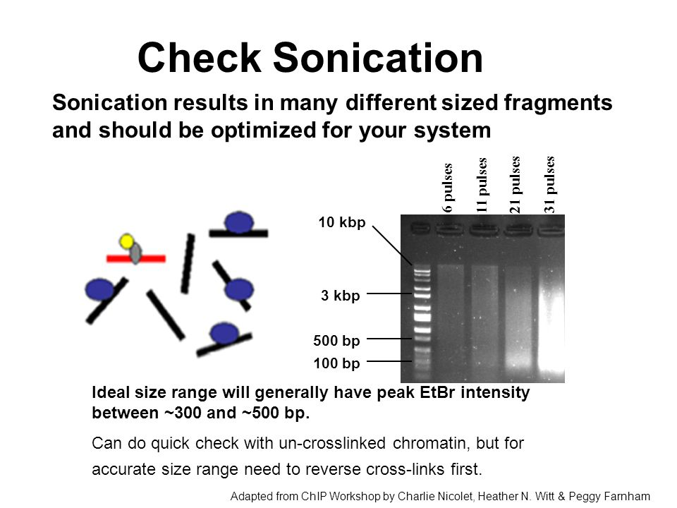Check Sonication Sonication results in many different sized fragments and should be optimized for your system.