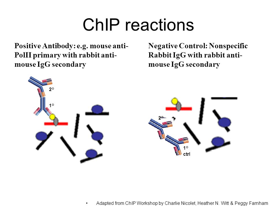 ChIP reactions Positive Antibody: e.g. mouse anti-PolII primary with rabbit anti-mouse IgG secondary.