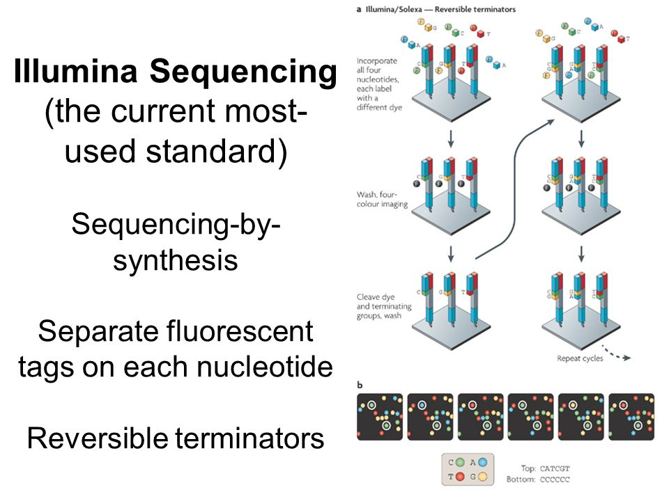 Illumina Sequencing (the current most-used standard) Sequencing-by-synthesis Separate fluorescent tags on each nucleotide Reversible terminators