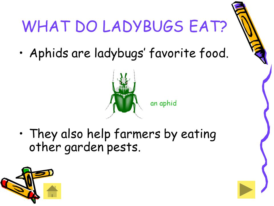 WHAT DO LADYBUGS EAT Aphids are ladybugs' favorite food. an aphid
