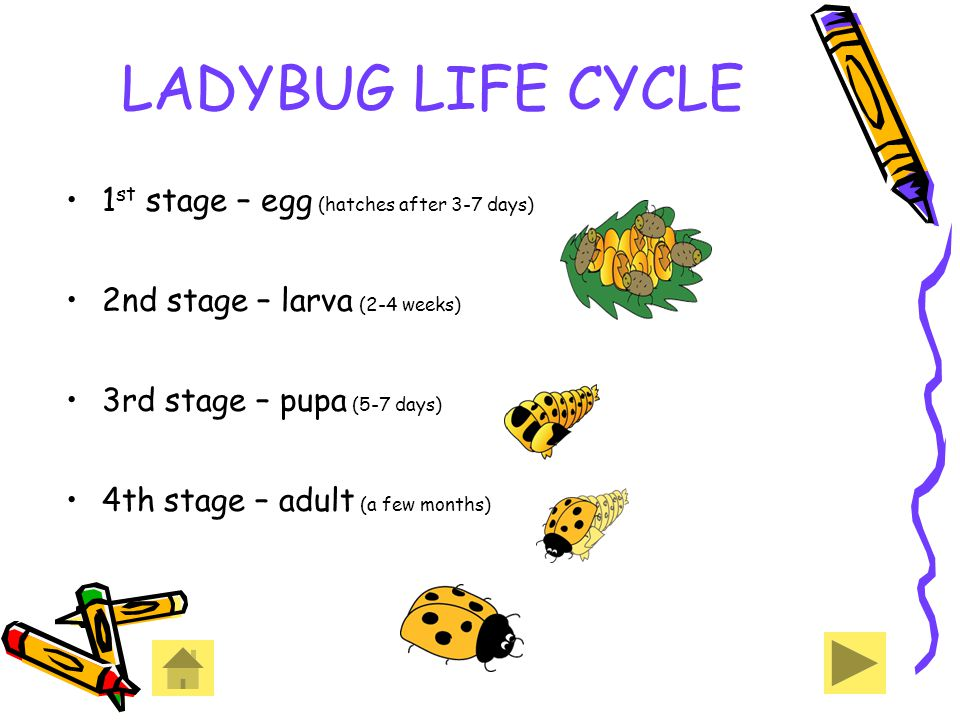 LADYBUG LIFE CYCLE 1st stage – egg (hatches after 3-7 days)