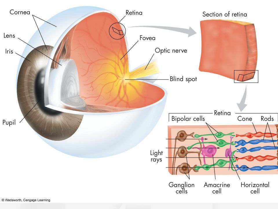 The Eye Light enters through a narrow opening. Cornea – transparent eye cover. Iris – muscle; colored part of the eye.