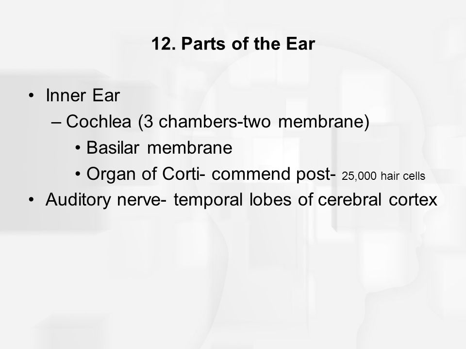 12. Parts of the Ear Inner Ear. Cochlea (3 chambers-two membrane) Basilar membrane. Organ of Corti- commend post- 25,000 hair cells.