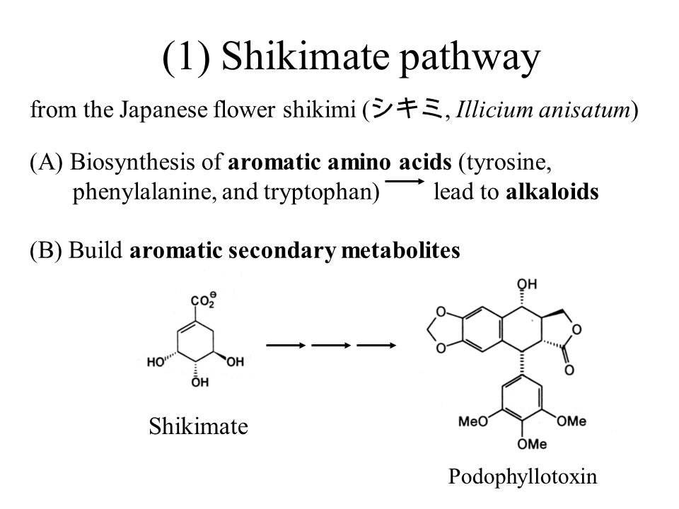 (1) Shikimate pathway from the Japanese flower shikimi (シキミ, Illicium anisatum) (A) Biosynthesis of aromatic amino acids (tyrosine,