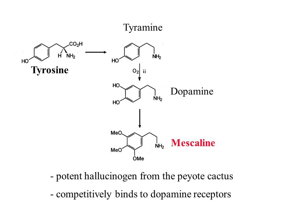 Tyramine Tyrosine. Dopamine. Mescaline. - potent hallucinogen from the peyote cactus.