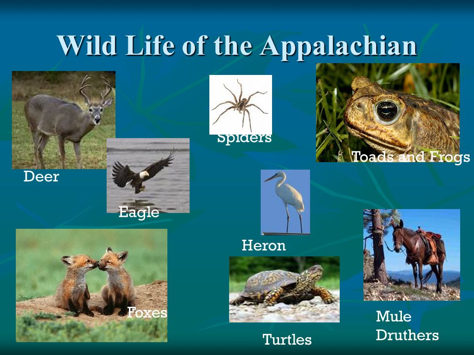 Wild Life of the Appalachian