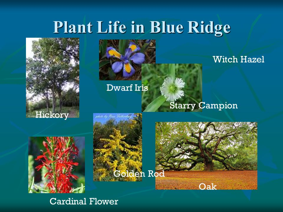 Plant Life in Blue Ridge