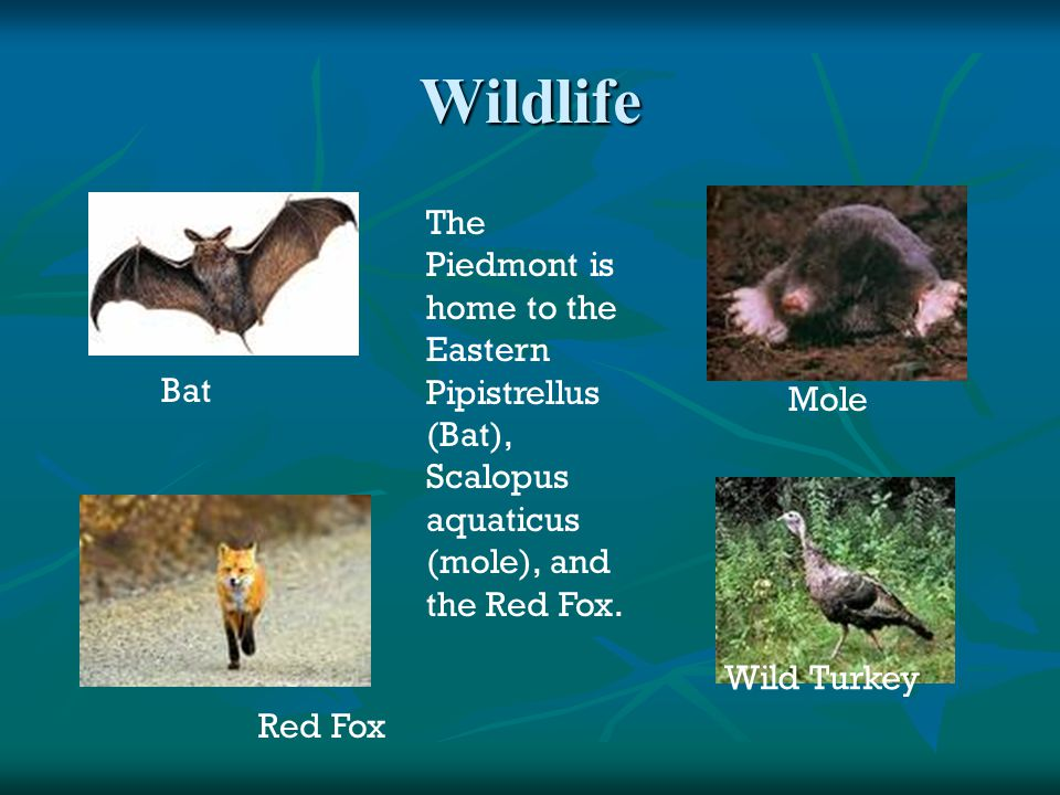 Wildlife The Piedmont is home to the Eastern Pipistrellus (Bat), Scalopus aquaticus (mole), and the Red Fox.