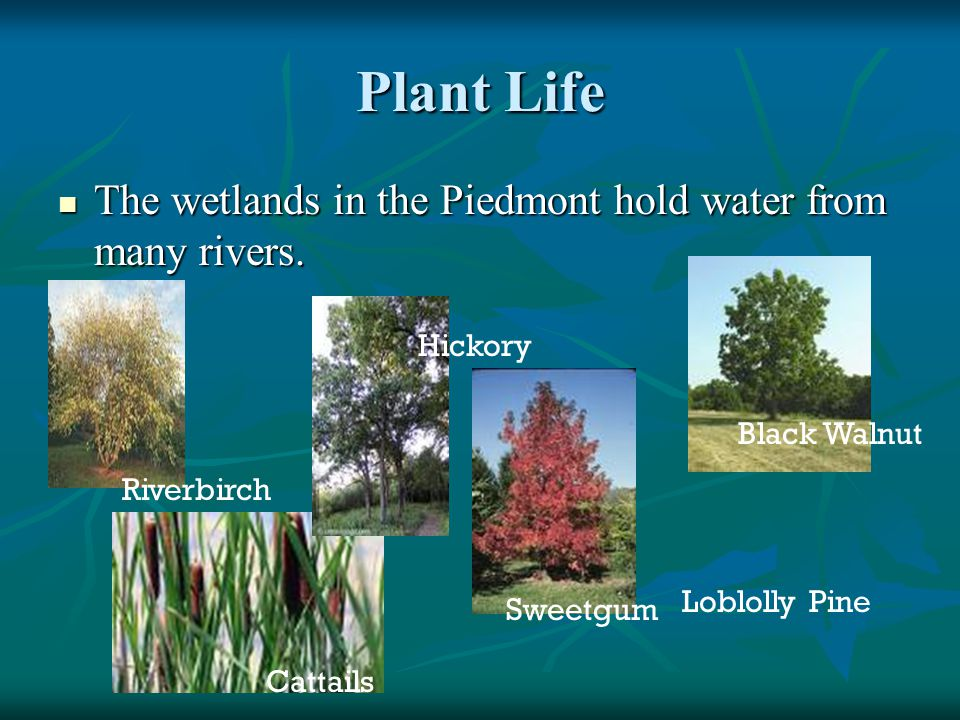 Plant Life The wetlands in the Piedmont hold water from many rivers.