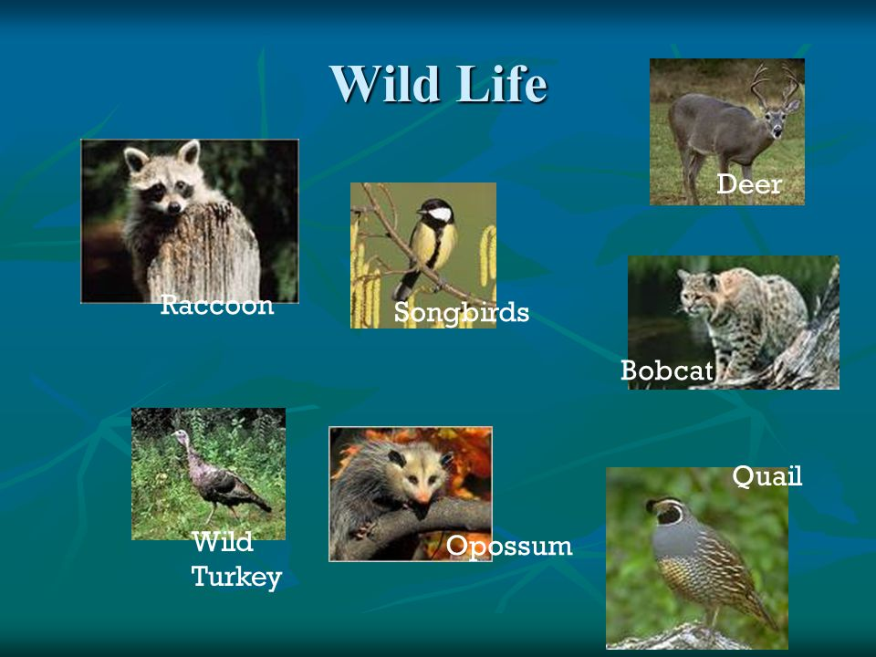 Wild Life Deer Raccoon Songbirds Bobcat Quail Wild Turkey Opossum