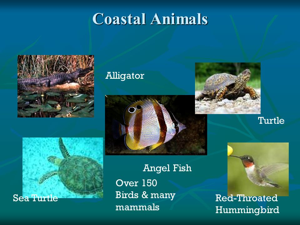 Coastal Animals Alligator Turtle Angel Fish